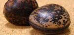 木魚菩提樹・木魚果
