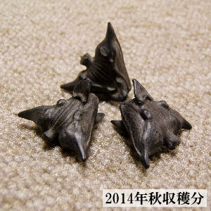 菱の実菩提樹・ヒシの実-画像