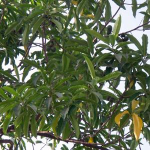 インド菩提樹ルドラクシャの原木・葉っぱ