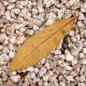 ルドラクシャの葉っぱ(枯葉)