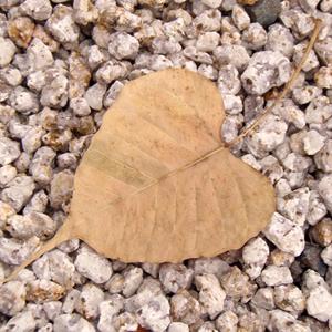 インド菩提樹の葉っぱ(枯葉)